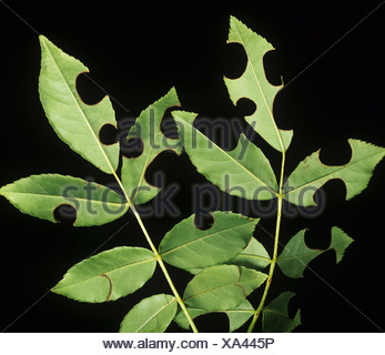 Round notches cut from rose leaves by a leaf cutter bee Megachile centucularis - Stock Photo