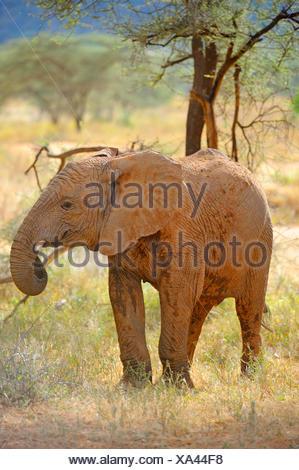 African elephant (Loxodonta africana), on the feed in savannah, Kenya, Samburu National Reserve - Stock Photo