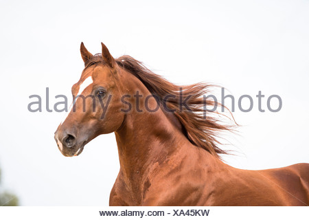 American Quarter Horse. Portrait of a chestnut stallion. Italy - Stock Photo