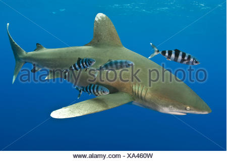 Oceanic whitetip shark (Carcharhinus longimanus) with Pilot fish (Naucrates ductor). Tropical West Atlantic Ocean, off Cat Island, Bahamas. - Stock Photo