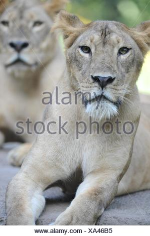 A shot of of an African Lion in the wild - Stock Photo