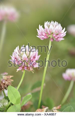 Alsike Clover - Trifolium hybridum - Stock Photo