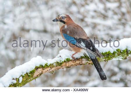 Eurasian jay (Garrulus glandarius) sitting on snowy branch, Biosphere Reserve Swabian Alb, Baden-Württemberg, Germany - Stock Photo