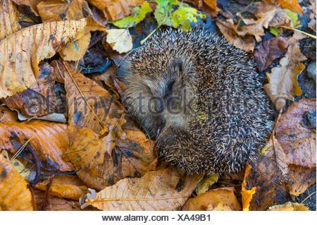 Igel in Herbstlaub, Niedersachsen, Deutschland / (Erinaceus europaeus) - Stock Photo