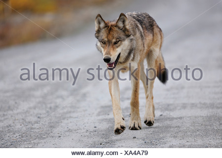 Wolf (Canis lupus) on a road, looking for food, Denali National Park, Alaska - Stock Photo