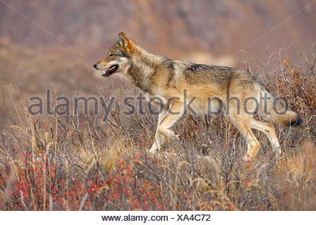 Alaska. Autumn view of a young Gray Wolf (Canis lupus) walking along a ridge, Denali National Park. - Stock Photo
