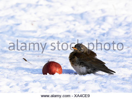thrush; throttle; fieldfare; - Stock Photo