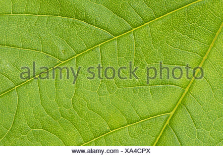 sycamore maple - Stock Photo