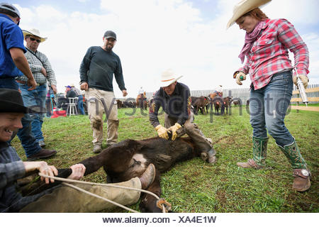 Cattle ranchers preparing to vaccinate cow - Stock Photo