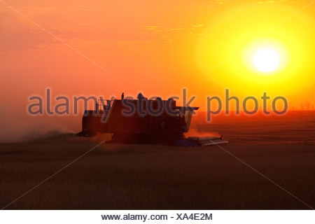Agriculture - Silhouetted combine harvesting wheat at sunset / Alberta, Canada. - Stock Photo