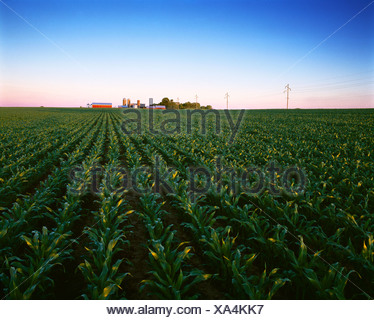 Agriculture - Mid growth, pre tassel stage grain corn field with a farmstead in the background, at sunrise / Wisconsin, USA. - Stock Photo