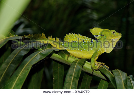 lizard, lizards, basilisc, plumed basilisc, Jesus Christ lizard, Basiliscus plumifrons, reptile, reptiles, scale, scales, blue, - Stock Photo