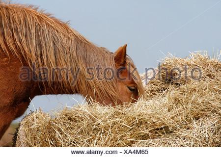 Pferd im Heu / horse in hay - Stock Photo