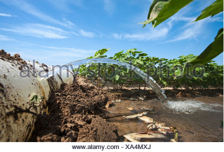Furrow irrigation of a mid growth cotton crop utilizing a poly roll out pipe / near England, Arkansas, USA. - Stock Photo