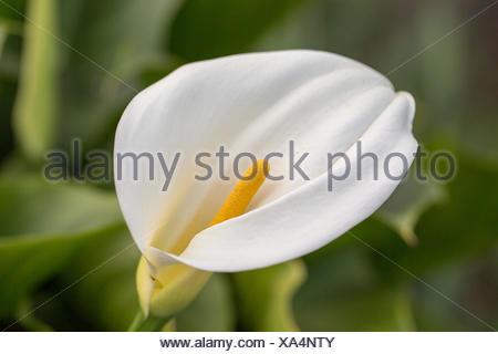 Calla Lily flower - Arum - Stock Photo