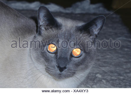 Cats, Tonkanese, darkness, eyes, detail, shine, reflect, animals, mammals, mammal, pets, house cats, portrait, cat's portrait, cats, Felidae, race cat, look, head, moments, Siam cat, reflexion, reflectors, night, darkness, shine, - Stock Photo