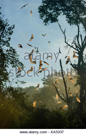 Straw-coloured fruit bats (Eidolon helvum) in flight at daytime roost after being disturbed by a large raptor. Kasanka National Park, Zambia. - Stock Photo