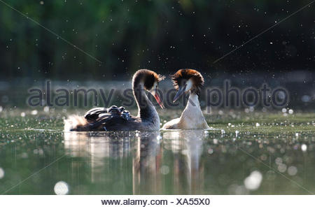A pair of great crested grebes, Podiceps cristatus, courts following a territorial dispute with a neighboring pair. One adult has their chicks on its back. - Stock Photo