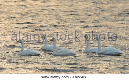 Whooper swan Cygnus cygnus group on freshwater loch Inverness-shire Highland - Stock Photo