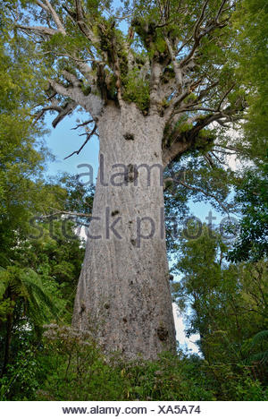 Tane Mahuta, 'Lord of the Forest', the largest living Kauri tree (Agathis australis) of New Zealand, at least 1250 years - Stock Photo