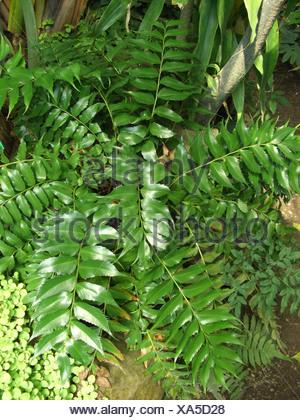 Japanese Holly Farn (Cyrtomium falcatum, Polysticum falcatum), top view - Stock Photo