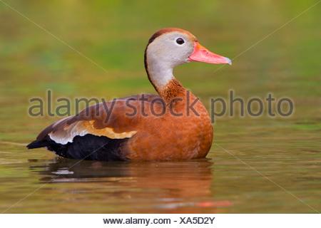Black-bellied Whistling-Duck (Dendrocygna autumnalis) swimming in pond near Houston, Texas, USA - Stock Photo