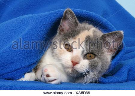 British Shorthair Kitten - Stock Photo