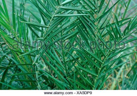 Cretan date palm (Phoenix theophrasti), leaves - Stock Photo