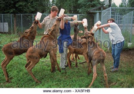 American Moose (Alces alces americana) six calves, feeding, being bottle fed milk by zookeepers, Alaska Zoo, Alaska, U.S.A. - Stock Photo