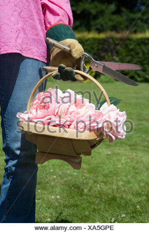 Close up of basket with cut roses - Stock Photo