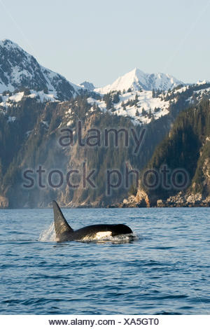 killer whale, or orcas, Orcinus orca, large bull swimming in Resurrection Bay, Kenai Fjords National Park, outside Seward, southcentral Alaska, spring - Stock Photo