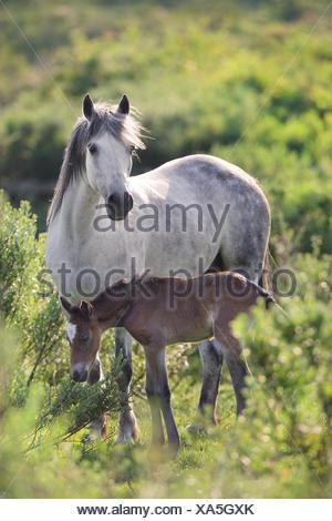 Connemara Pony Gray mare bay foal standing pasture Germany - Stock Photo