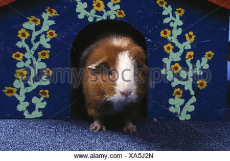 3 Guinea pig Ansichtskarte:Meerschweinchen auf der Wiese D