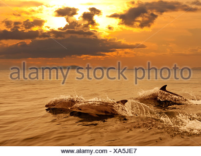 Three dolphins playing in the sunset sea - Stock Photo