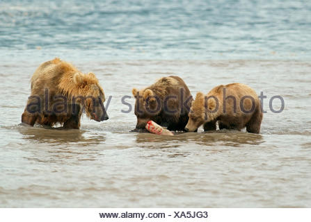 Brown bears (Ursus arctos), female fishing for salmon with cubs, Kurile Lake, Kamchatka, Russia, Europe - Stock Photo