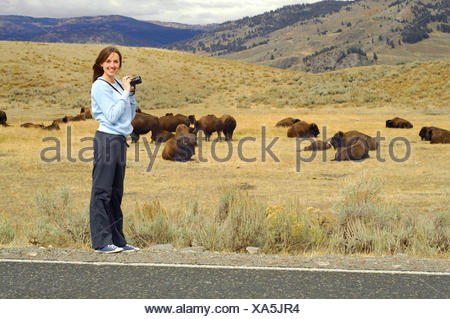 American bison, buffalo (Bison bison), young woman taking pictures of a herd of buffalo in the Lamar Valley, USA, Yellowstone National Park - Stock Photo