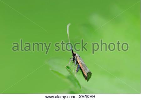 Green Longhorn (Adela reaumurella), female, North Rhine-Westphalia, Germany - Stock Photo