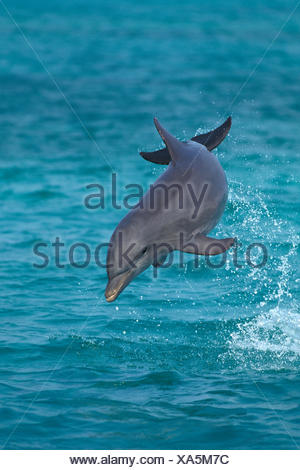 Bottlenose Dolphin, tursiops truncatus, Leaping, Honduras - Stock Photo