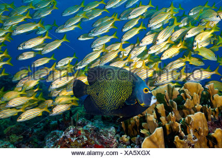 French Angelfish (Pomacanthus paru) with a Smallmouth Grunt (Haemulon chrysargyreum) and Blade Fire Coral (Millepora complanata). Cancun National Park, Caribbean Sea, Mexico. - Stock Photo