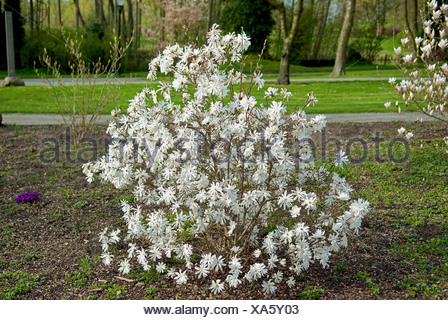 star magnolia (Magnolia stellata 'Royal Star', Magnolia stellata Royal Star), cultivar Royal Star, Germany - Stock Photo
