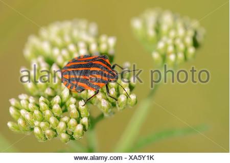 Striped Shield Bug (graphosoma lineatum), North Rhine-Westphalia, Germany - Stock Photo