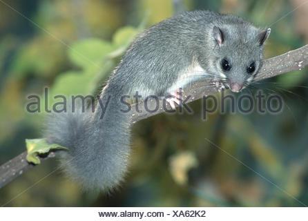 edible dormouse, edible commoner dormouse, fat dormouse, squirrel-tailed dormouse (Glis glis), on branch - Stock Photo