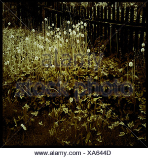 Dandelions in a garden - Stock Photo