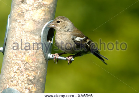 A female chaffinch Fringilla coelebs on a bird seed feeder in summer - Stock Photo