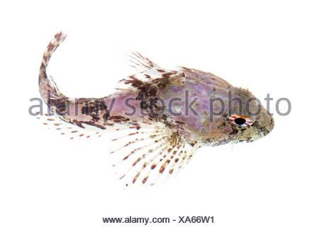 Sea Scorpion / Bullfish (Taurulus bubalis) against white background. From the Isle of Skye, Inner Hebrides, Scotland, UK. - Stock Photo
