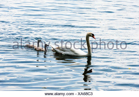 One adult mute swan with two young cygnets. - Stock Photo