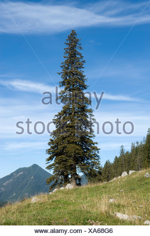 Norway spruce (Picea abies), solitary free-standing old, big and tall tree, Soin-Alm alpine pasture and Mt. Grosser Traithen in - Stock Photo