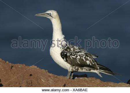 young northern gannet - Stock Photo
