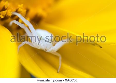 Flower crab spider or goldenrod crab spider (Misumena vatia) waiting for prey on yellow flower, Hesse, Germany, - Stock Photo