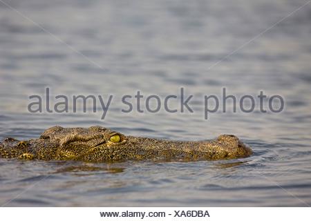 Africa, Botswana, Nile crocodile (Crocodylus niloticus) in water, close-up - Stock Photo